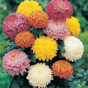 Chrysanthemum - Kasımpatı