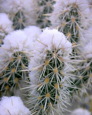 snow-cactus-winter-cholla